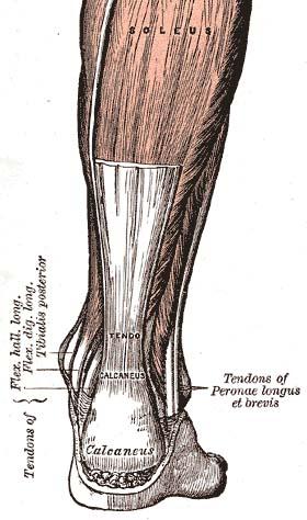 planche médicale montrant un tendon d'achille
